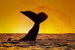 humpback whale lobtailing at sunset, Megaptera novaeangliae, Hawaii, Pacific Ocean