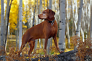 SHOT 10/1/12 4:53:39 PM - Tanner, an eight year-old male Vizsla, scans the woods for critters as aspen trees change colors along Kebler Pass just outside of Crested Butte, Co. Populus tremuloides, the Quaking Aspen or Trembling Aspen, is a deciduous tree native to cooler areas of North America and is generally found at 5,000-12,000 feet. The name references the quaking or trembling of the leaves that occurs in even a slight breeze due to the flattened petioles. It propagates itself by both seed and root sprouts, and extensive clonal colonies are common. Each colony is its own clone, and all trees in the clone have identical characteristics and share a root structure. (Photo by Marc Piscotty / © 2012)