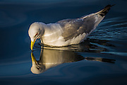 Seagull with reflection in the sea Måke med refleksjon i sjøen