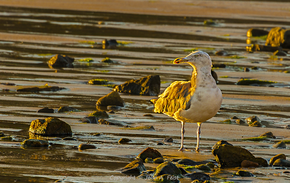 The sun is just starting to rise over Cape Anne, MA.  This gull has turned his face to the golden light as the sum comes over the horizon.