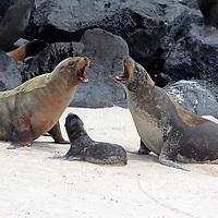 South America, Ecuador, Galapagos, Espanola. Galapagos Sea Lion family.