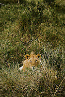 A Juvenile Lion watching me watching him in the Masai Mara National Park, Kenya