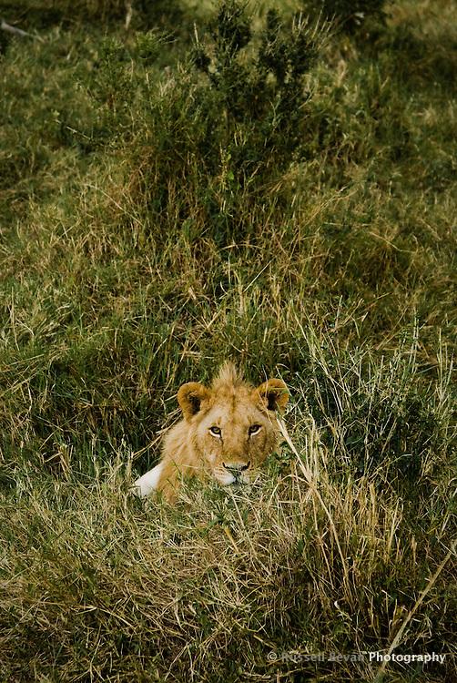 A Juvenile Lion watching me watching him in the Masai Mara National Park, Kenya