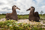 Two courting Black-footed Albatross (Phoebastria nigripes) quietely sit together. Midway Atoll National Wildlife Refuge.