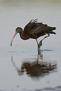Northern Bald Ibis, (Geronticus eremita) Israel winter