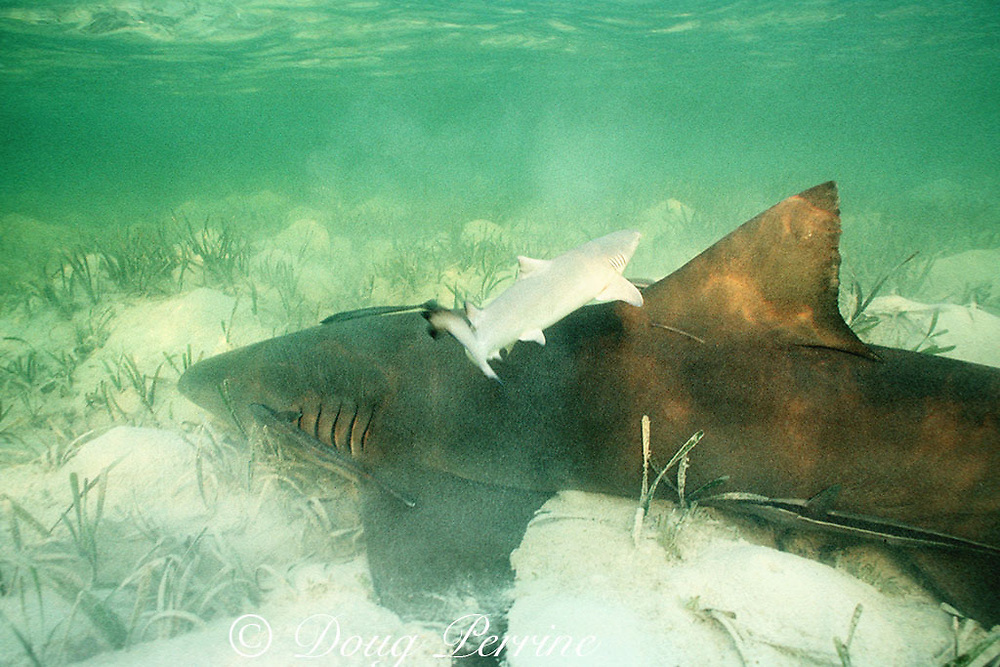 lemon shark, Negaprion brevirostris, and newborn pup, Bimini, Bahamas ( Western Atlantic Ocean )