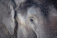 an Asian Elephant's (Elephas maximus) wrinked and time-painted skin