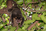 Sulawesi bear cuscus (Ailurops ursinus) from Tangkoko Nature Reserve, northern Sulawesi, Indonesia.