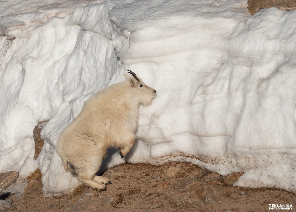 A Colorado mountain goat prepares to leap up an ice wall.