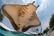 USA, Vereinigte Staaten Von Amerika: Florida Aquarium, Skulptur eines Manta Rochen am Eingang des Aquariums, Tampa, Florida | USA, United States Of America: Florida Aquarium, sculpture of a manta ray at entry to the aquarium, Tampa, Florida |