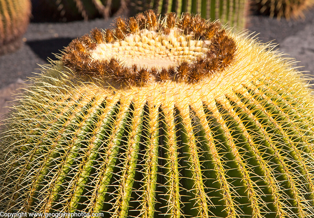 Jardin de Cactus designed by César Manrique, Guatiza, Lanzarote, Canary Islands, Spain - Cactaceae, Echinocactus grusonil,