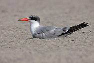 Caspian Tern - Hydroprogne caspia - Adult in transition to breeding