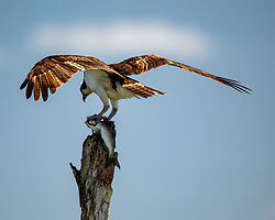 An Osprey getting ready to eat it's fresh meal, Lake Apopka Wildlife Drive, Florida. Image taken by Ed Aldridge with a NIKON Z 6_2 and 500mm f/4D at 500mm, ISO 1600, f4, 1/3200.