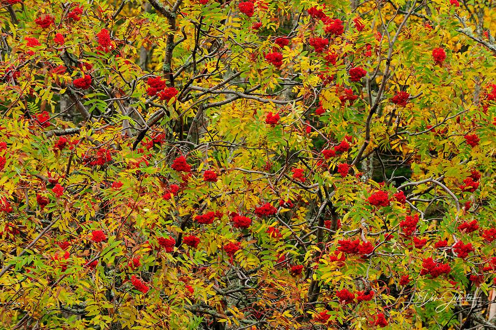 Mountain ash trees (Sorbus spp.) with berries in autumn, Marathon, Ontario, Canada, Marathon, Ontario, Canada