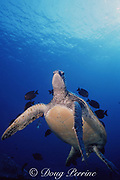 green sea turtle, Chelonia mydas, being cleaned by gold-ring surgeonfish, Zebrasoma flavescens, Ctenochaetus strigosus, and Acanthurus triostegus, Hawaii ( Pacific Ocean )