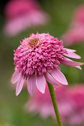 Echinacea purpurea 'Razzmatazz'