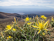 Giant blazingstar or smoothstem blazingstar (Mentzelia laevicaulis) is a spectacular yellow wildflower native to western North America. To the east are the Inyo Mountains, seen from scenic Onion Valley Road, in the Sierra Nevada foothills, above Independence, California, USA.