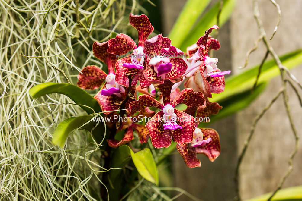 Close up of a flowering Red Orchid at the botanic garden on Mahe Island, Seychelles