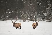 Elk on winter range in Wyoming
