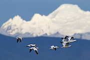 Seven snow geese (Chen caerulescens) fly over Washington's Skagit Valley with Mount Baker as a backdrop. Tens of thousands of snow geese, also known as blue geese, spend the winter in the Skagit Valley, primarily feeding in farmers' fields.