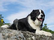 Akbash/Border Collie mix dog lying on rock