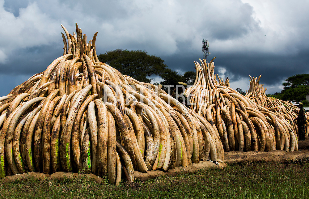 Elephant tusks await the burning of more that 100 tonnes of Elephant tusks and Rhino horns in Kenya. The tusks alone - from about 8,000 elephants - would be worth more than $105 million on the black market. Conservationists worry that there is a a real threat of elephants becoming extinct in the next 50 years because of poaching bankrolled by the illegal trade in ivory. Photo: Paul Hilton