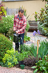 Watering a newly planted perennial (Penstemon) in a border with a watering can.