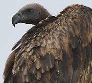 Close-up portrait of a  white-backed vulture (Gyps africanus. Tarangire National Park, Tanzania.