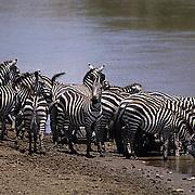 Burchell's Zebra, (Equus burchelli) Drinking at Mara River. Masai Mara Game Reserve. Kenya.  Africa.