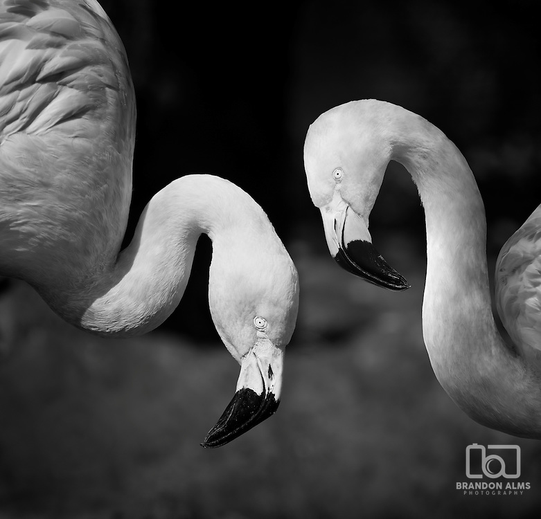 A close up shot of a pair of American flamingos (Phoenicopterus ruber) in black and white.