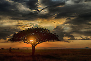 A fabulous sunset on the Serengeti. An acacia tree silhouetted against the setting sun with a clearing storm.