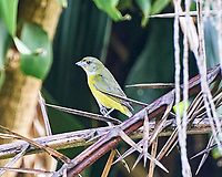 Female Yellow-throated Euphonia (Euphonia hirundinacea). Image taken with a Nikon D3s camera and 70-300 mm VR lens.