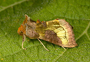 Close-up of a Burnished brass moth (Diachrysia chrysitis) resting on a leaf in a Norfolk garden in summer