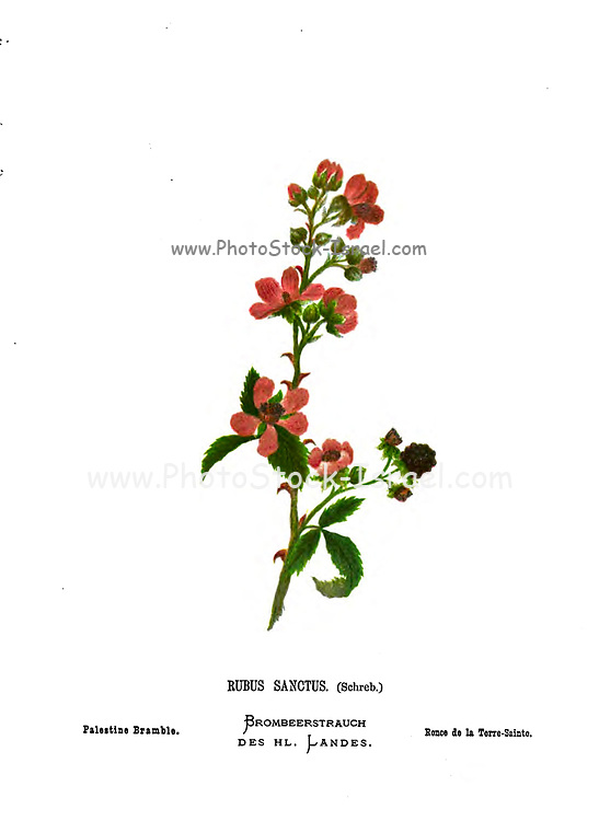 Rubus ulmifolius subsp. sanctus, commonly called holy bramble,[Here as Palestine Bramble] is a bramble native to parts of Asia and Europe. From the book Wild flowers of the Holy Land: Fifty-Four Plates Printed In Colours, Drawn And Painted After Nature. by Mrs. Hannah Zeller, (Gobat); Tristram, H. B. (Henry Baker), and Edward Atkinson, Published in London by James Nisbet & Co 1876 on white background