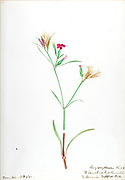 """Sketchbook 5 - Water-color sketches of plants of North America and Europe [graphic], Painted between June 1888 to September 1910 by Helen Sharp. Eighteen albums of water-color sketches by Helen Sharp of flowering plants and shrubs common to the United States, especially New England, as well as to Bermuda and parts of Europe, dated between June 1888 and Sept. 1910. Sketches in water-color and ink on paper (26 x 18 cm. or smaller) include botanical captions in Latin, along with Sharp""""s notes on the common name and physical characteristics of each plant, and location and date of drawing. There is also a table of contents at the front of each sketchbook. The first 16 albums contain sketches of plants common in New England, in towns of Massachusetts such as Nantucket, Taunton, Boston, No. Andover, Marblehead, Hingham, Gloucester; Maine (York, Sorrento); New Hampshire (Surrey), and Connecticut. Volume 17 contains sketches of plants made by the artist while traveling in Switzerland, Italy, England, and France, while v. 18 contains sketches of tropical fruits and flowers of Bermuda, completed during Sharp""""s visits of 1892, 1893, and 1903."""