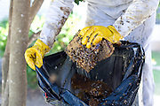 Keith Huddle removes bees from a residence in Pflugerville, Texas. Recent rains have provided relief from Texas' drought conditions and led to a resurgence of bees as wildflowers and other plants have made a rebound. ..A 40-year-old warehouse worker was stung more than 300 times after disturbing a massive colony of bees in Pflugerville on Wedneday August 8, 2012. ..In a separate incident on Monday August 6, 2012 a man was stung while attempting to remove bees in his home with a vacuum cleaner. He went into shock while driving himself to the hospital and crashed into a pedestrian, several cars and a house in west Austin...CREDIT: Julia Robinson for The Wall Street Journal.BEE
