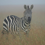 Common Zebra (Equus quagga) standing in grasslands. Masai Mara National Reserve, Kenya, Africa