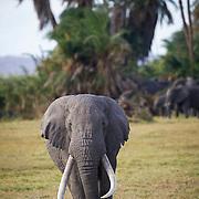 Bull elephant known as Tim, Amboseli