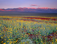 CADDV_039 - USA, California, Death Valley National Park, Desert sunflower blooms alongside colorful volcanic rock while sunrise light reddens the snow capped Panamint Range.