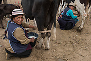 Indian milking cow<br /> Augustina Lata & Maria Chimbo<br /> Calpi animal market<br /> Parish of Riobamba, Chimborazo Province<br /> Andes<br /> ECUADOR, South America