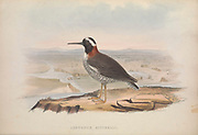 Leptopus mitchelli from Zoologia typica; or, Figures of new and rare animals and birds described in the proceedings, or exhibited in the collections of the Zoological Society of London. By Fraser, Louis. Zoological Society of London. Published London, March 1847