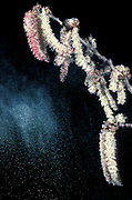 Poplar Tree, Catkins, family Salicaceae, UK, shedding spores