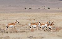 Pronghorn (American antelope), Antilocapra americana, at Hart Mountain National Antelope Refuge, Oregon