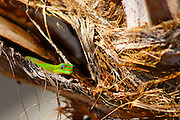 Hawaiian Gecko Hiding
