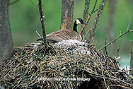 00748-00614 Canada goose (Branta canadensis) sitting on nest    IL