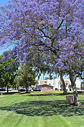 Jacaranda Tree in Bloom in City Hall Park, with the Lions Scout Center in the Background