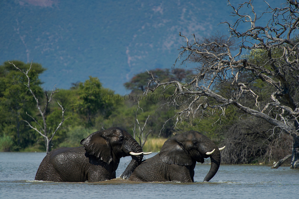 African Elephant (Loxodonta africana) swimming in River<br /> Marakele Private Reserve, Waterberg Biosphere Reserve<br /> Limpopo Province<br /> SOUTH AFRICA<br /> RANGE: Throughout sub-Saharan Africa
