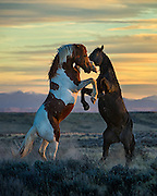 """Stallions fighting on the open prairie at last light in North Central Wyoming. This image appears in the February issue of Cowboys & Indians Magazine in the Equine Division of """"Photographing the West""""."""