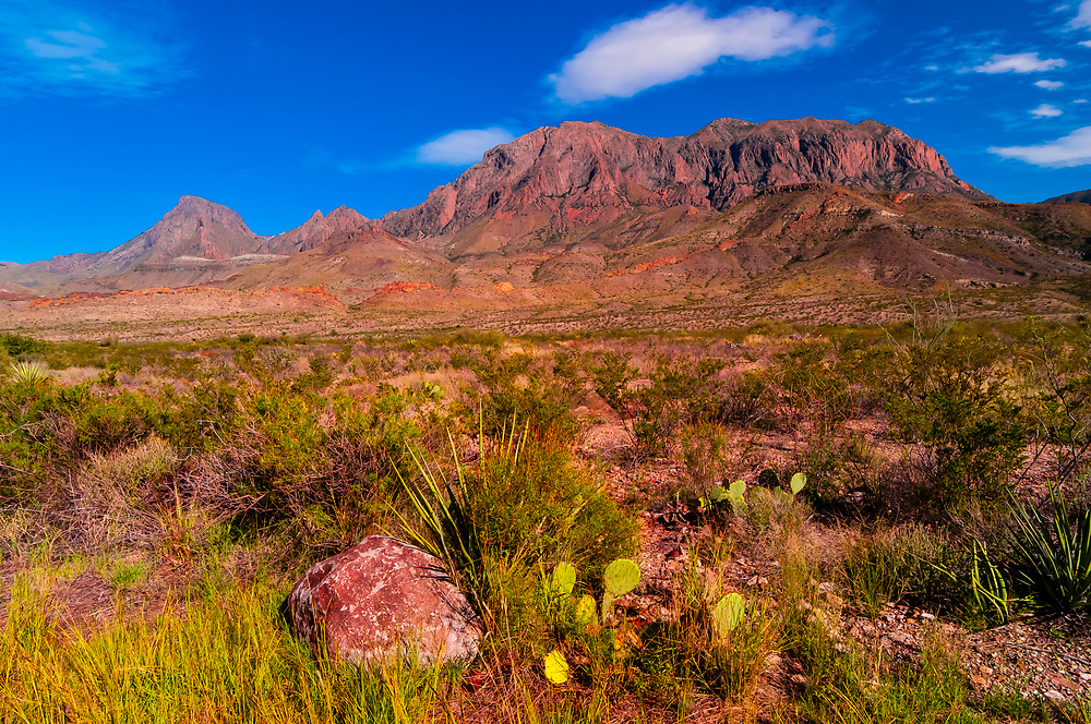 Prickly Pear Cactus in the Chihuahuan Desert along Ross Maxwell Scenic Drive in Big Bend National Park, Texas USA. The Chisos Mountains are in the background.