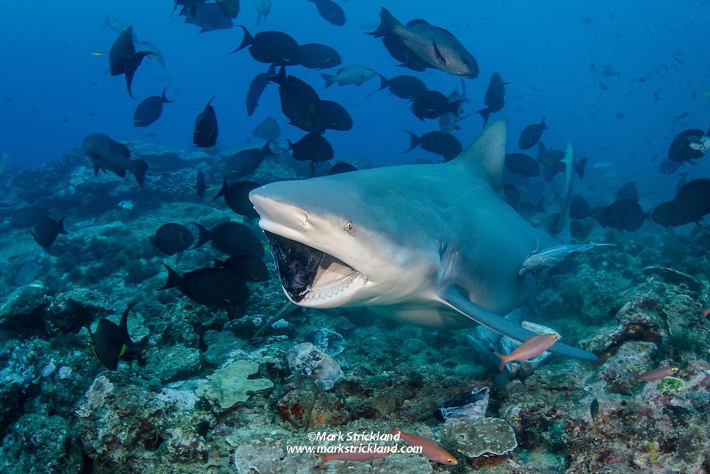 A large Bull Shark, Carcharhinus leucas, clamps down on a tuna head during a shark attraction dive. Beqa Lagoon, Viti Levu, Fiji, Pacific Ocean